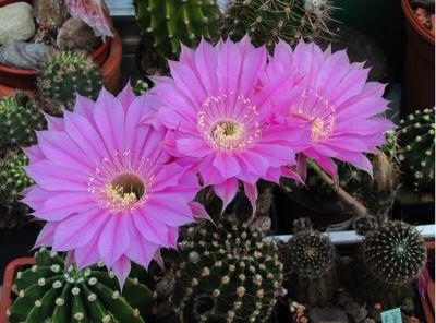 kaktusy-cvetet