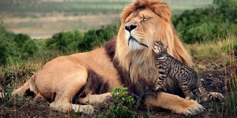 лев и кошка