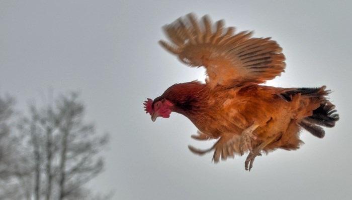 курица летит